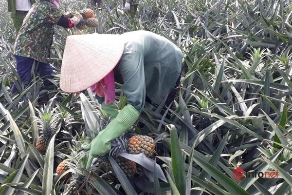 Lãi 70 triệu mỗi ha, nông dân xứ Thanh phấn khởi đội nắng thu hoạch cây đặc sản