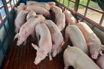 Lô lợn sống Thái Lan giá rẻ sắp nhập về Việt Nam tháng này