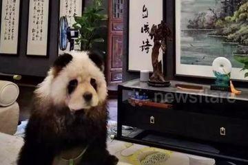 Kinh ngạc 'gấu trúc' thản nhiên đi bộ giữa đường phố Trung Quốc