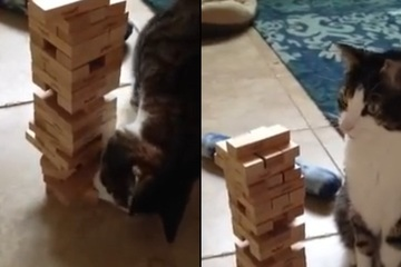"""Video: Bất ngờ trước khả năng chơi xếp gỗ """"cao thủ"""" của... một chú mèo"""