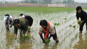 Nông dân Triều Tiên hối hả trồng lúa đối phó thiếu hụt lương thực