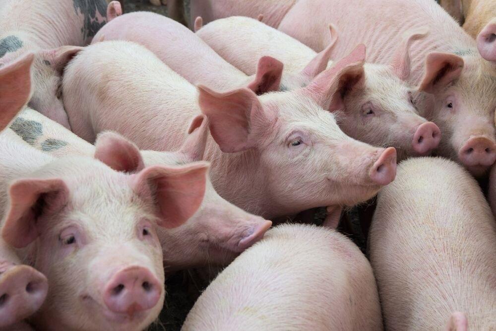 Lợn sống Thái Lan nhập khẩu về được kiểm soát nghiêm ngặt như thế nào?