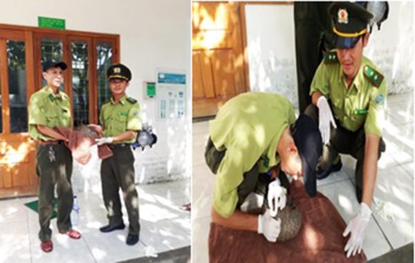 Đà Nẵng: Bàn giao cá thể Tê tê Java nguy cấp, quý hiếm cho Vườn Quốc gia Cúc Phương
