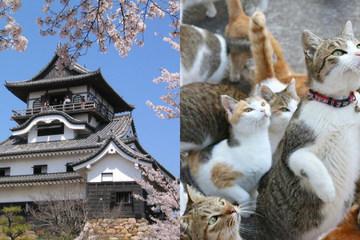 Mèo hoang rủ nhau xâm chiếm pháo đài cổ ở Nhật Bản