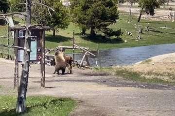 """Cuộc chiến """"chết chóc"""" giữa gấu xám và bò rừng lớn nhất Bắc Mỹ"""
