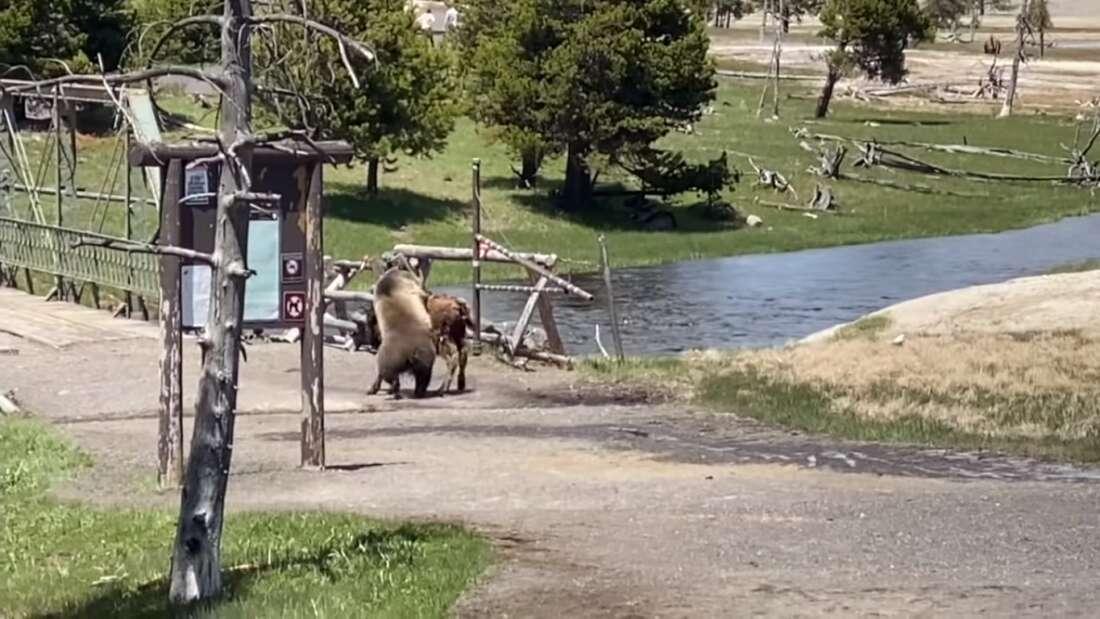 Cuộc chiến 'chết chóc' giữa gấu xám và bò rừng lớn nhất Bắc Mỹ