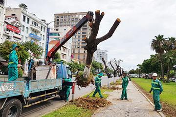 Đà Nẵng: Chặt hạ, di dời 345 cây xanh phía Tây cầu Trần Thị Lý
