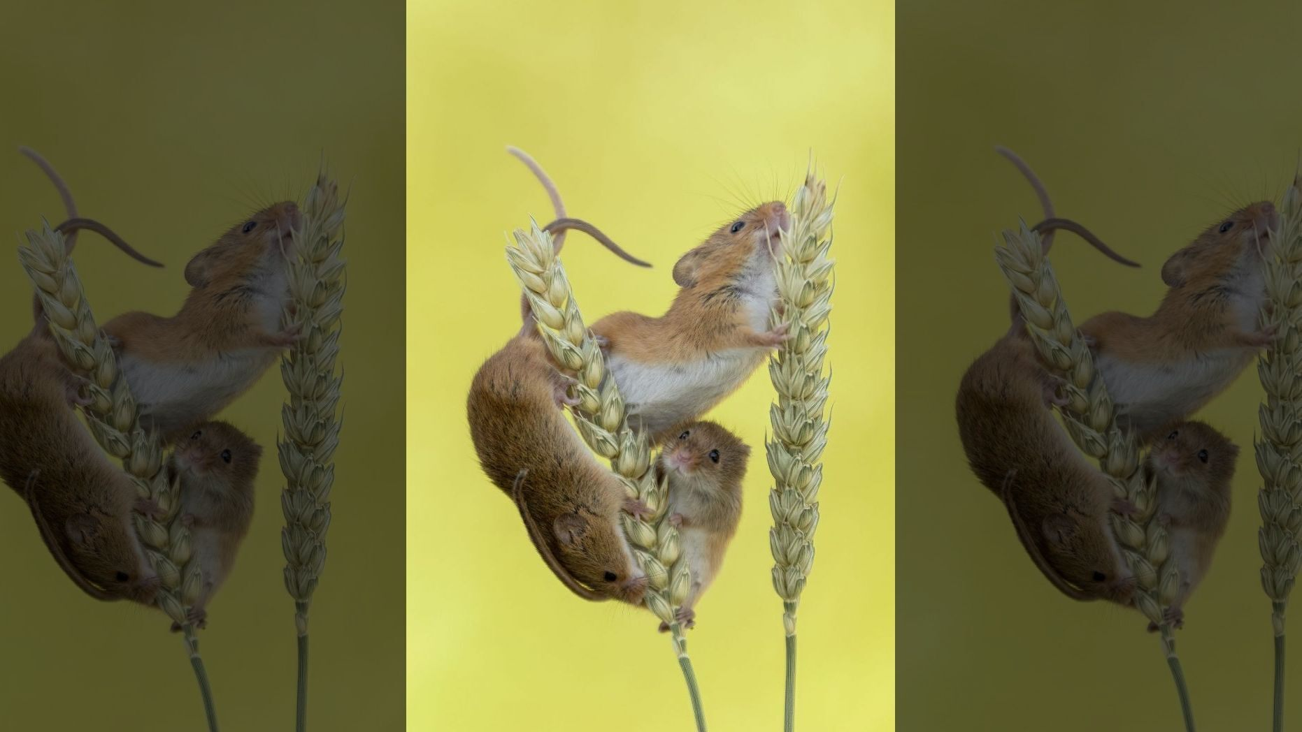 chuột tí hon