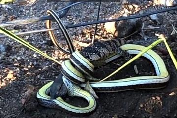 Video: Cuộc chiến sinh tử của thằn lằn với rắn cát