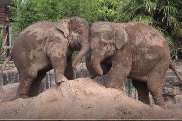 """Video: Cuộc thi đẩy """"gay cấn"""" của 2 chú voi con"""