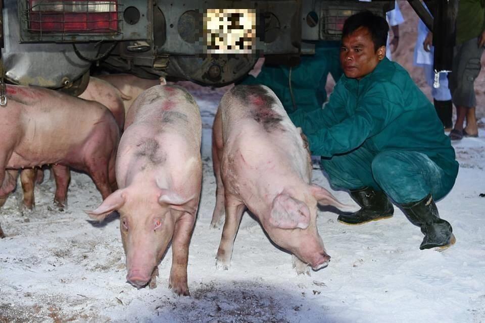 Lợn sống Thái Lan tăng giá