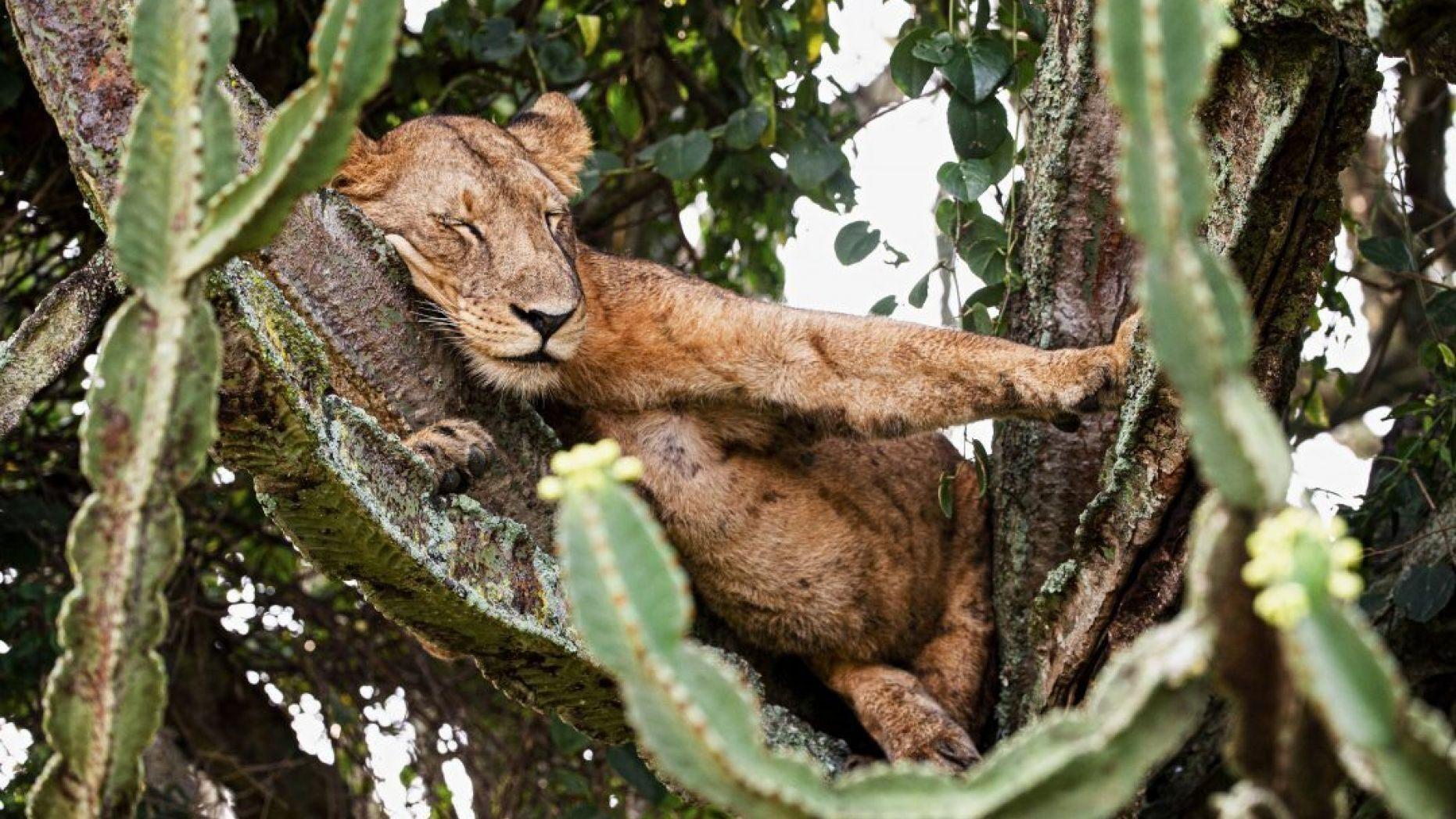 Bất ngờ trước khoảnh khắc sư tử 'ngủ nướng vắt vẻo' trên cây đầy mủ độc