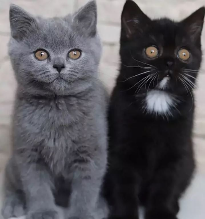 mèo hai mặt