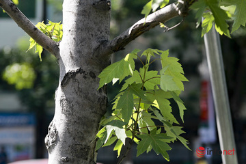 Hà Nội: Hàng phong trổ lá xanh tươi giữa hè nắng gắt