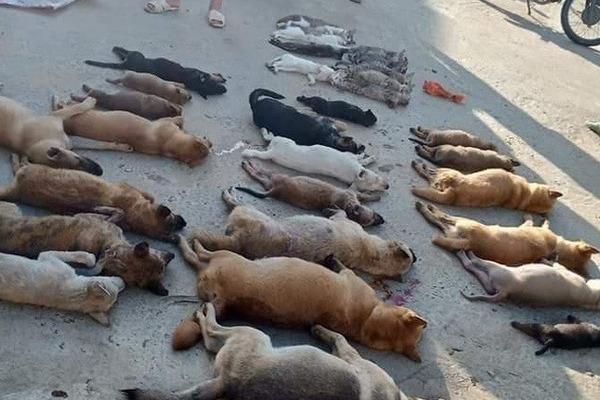 Ăn thịt chó, mèo bị đánh bả bằng chất độc Xyanua nguy hiểm thế nào?