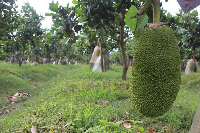 Bầu Đức thế chấp vườn cây ăn trái của công ty con, lấy 200 tỷ đồng