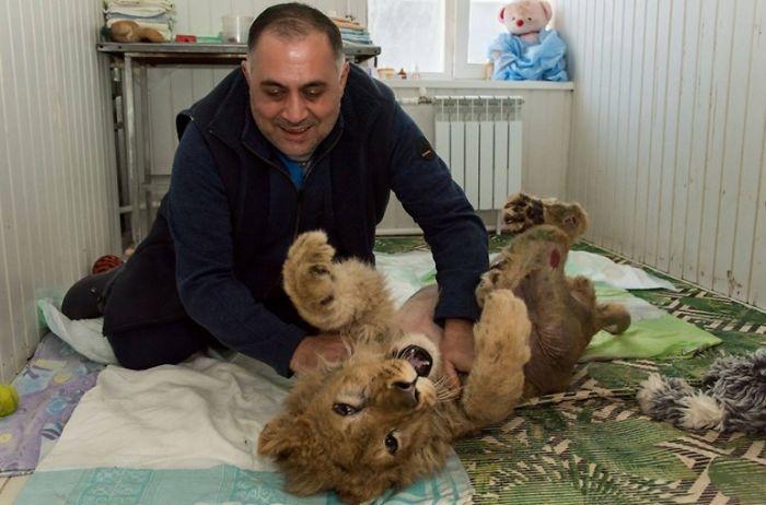 Chú sư tử Simba từng bị tra tấn dã man khiến cư dân mạng phẫn nộ đã phục hồi thần kỳ