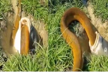 """Lươn vàng khủng bị cá """"nuốt trọn"""" và cái kết"""