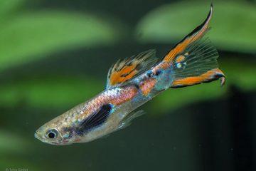 Độc chiêu giúp cá bảy màu nhỏ xíu né được kẻ thù