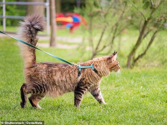 Mèo phải đeo dây xích khi đi bộ ngoài đường ở Australia
