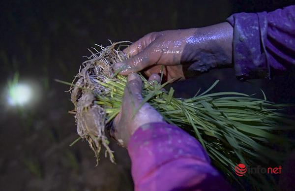 Sợ nắng héo lúa 'héo cả người', nông dân Hà Nội 'đội đèn' đi cấy từ 2h sáng