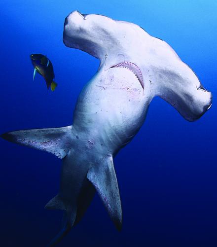 kỷ lục cá mập