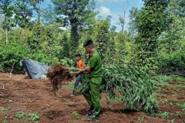 Phát hiện hơn 500 cây cần sa trong rẫy cà phê ở Đắk Lắk