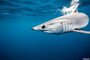 5 kỷ lục thế giới về độ 'khủng' của cá mập sát thủ đại dương