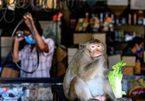 Bầy khỉ tung hoành, Thái Lan nghĩ cách cứu một thành phố