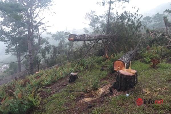 Lâm Đồng: Khởi tố vụ phá rừng thông cổ thụ ở núi Langbiang