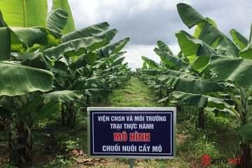 Đại học Tây Nguyên nghiên cứu trồng chuối Nam Mỹ tiêu chuẩn VietGAP