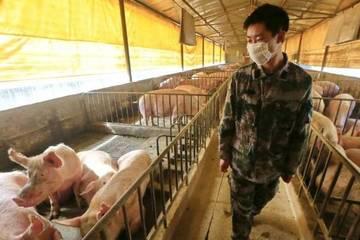 Chủng cúm lợn mới ở Trung Quốc liệu có thành đại dịch?