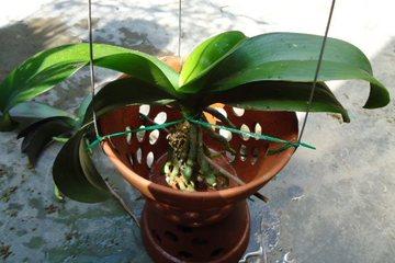 Cách chăm sóc lan hồ điệp trồng trong nhà