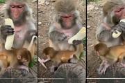 Video: Bật cười khoảnh khắc khỉ mẹ tỉ mỉ bóc chuối rồi... ăn một mình