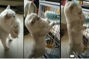Video: Mèo mẹ vừa tha mèo con vừa leo về ngôi nhà ở trên cao