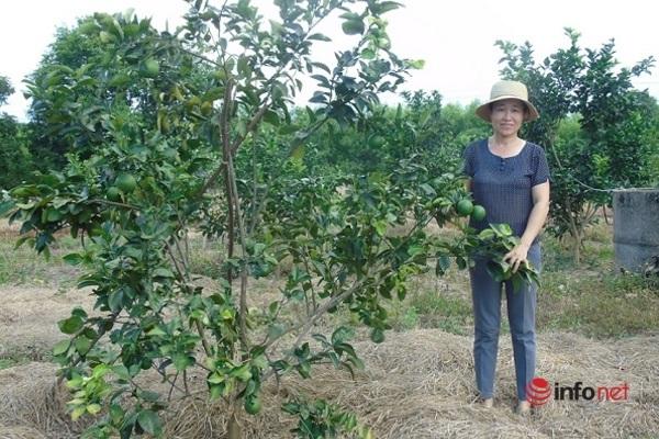 Quảng Bình: Đưa cam chanh Vũ Quang vào vùng gò đồi Lệ Thủy
