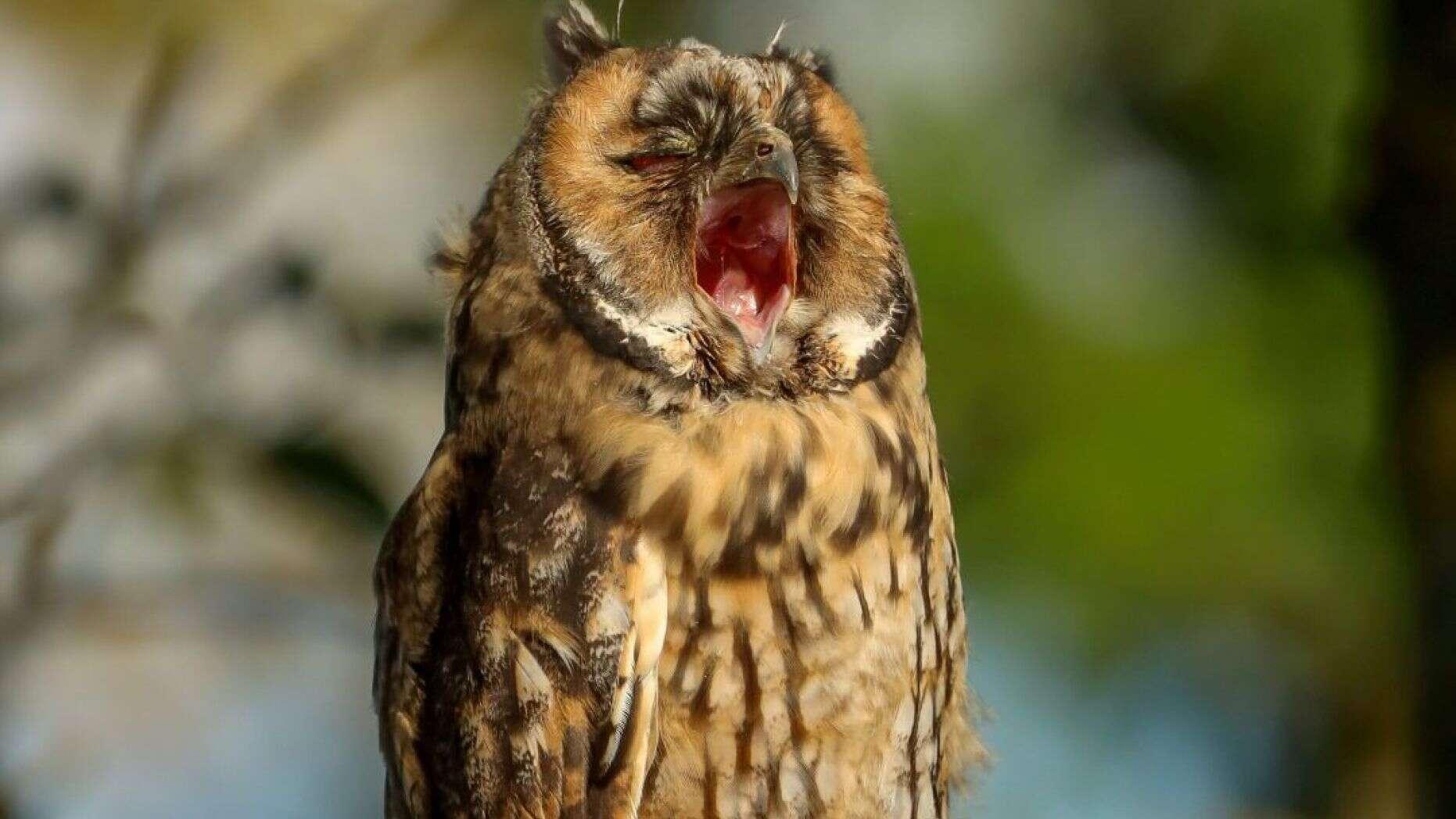 cú tai dài ngáp ngủ