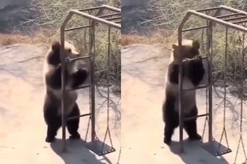 Chú gấu tìm cách xả stress khi ở quá lâu trong vườn thú
