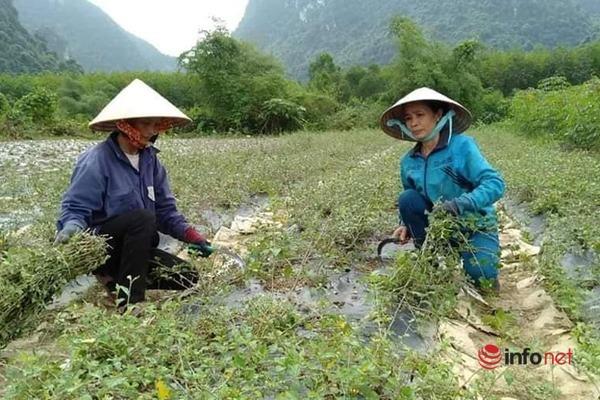 """Nghỉ việc nhà nước, đôi vợ chồng trồng thành công cây cà gai leo trên vùng đất """"gió Lào"""""""