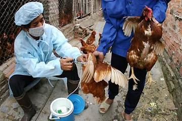 Hải Dương: Tiêm vaccine phòng cúm cho hơn 3,4 triệu con gia cầm