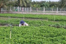 Giá rau diếp cá tăng chóng mặt, nông dân Vĩnh Long thu tiền tỷ như…. trúng số