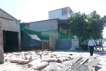 Hơn 80 con lợn chết bốc mùi hôi thối ngay cổng lò mổ gia súc