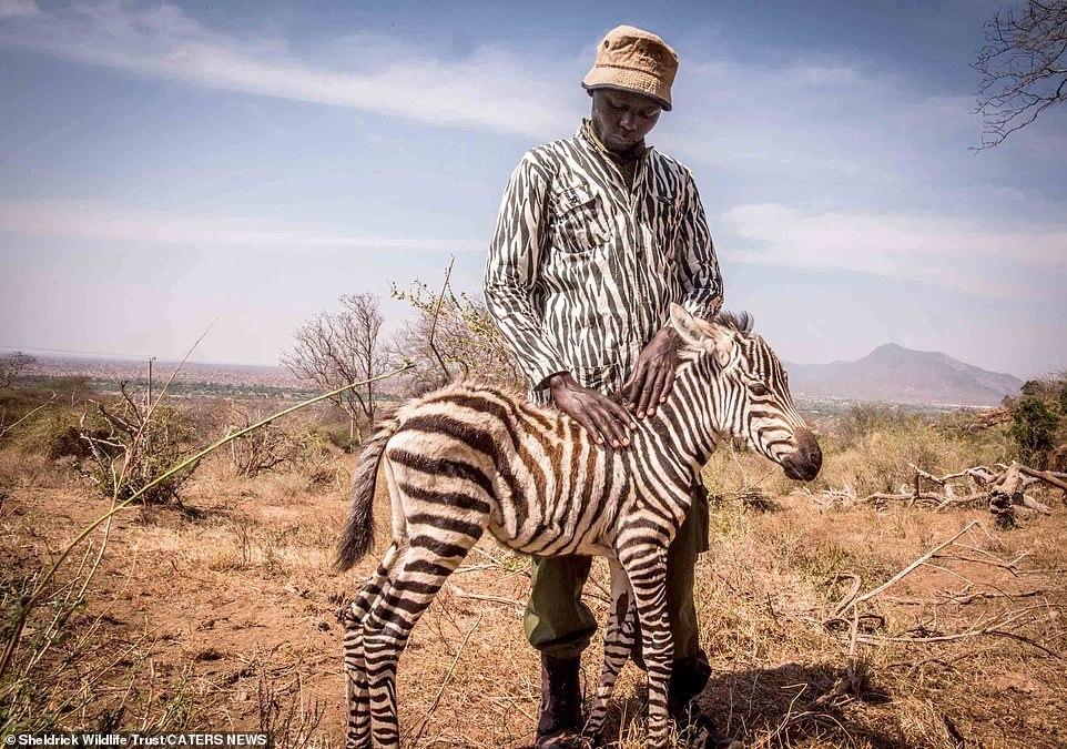 Nhân viên mặc trang phục đặc biệt để chăm sóc ngựa vằn con mồ côi