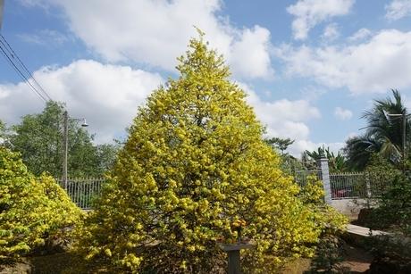Đại gia ở đất Tây Đô chi tiền tỉ mua cây mai vàng ở miền Tây, giá ngang với biệt thự