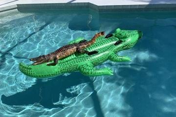 Cá sấu thật cưỡi cá sấu mô hình, nằm thư giãn trong hồ bơi