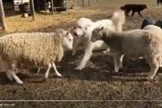Video: Hài hước chú chó hùng hổ lao tới can ngăn 2 chú cừu đánh nhau