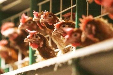 Hà Nội: dịch bệnh gia súc, gia cầm ổn định 6 tháng đầu năm