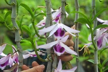Phất lên nhanh chóng nhờ trồng loài hoa vương giả