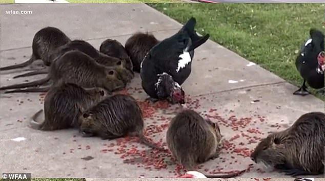 Kinh ngạc đàn chuột khổng lồ xâm chiếm công viên Mỹ