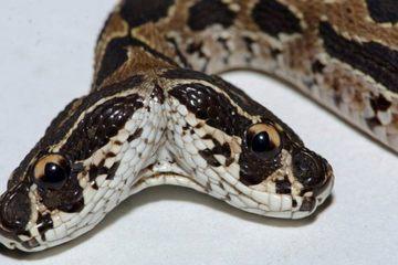 Tứ đại rắn độc Ấn Độ sinh con hai đầu